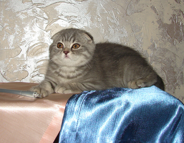 шотландские вислоухие серые котята фото цена #18