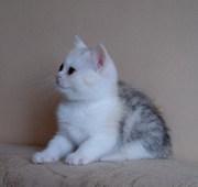котята-страйты,  питомник Plushville