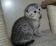 Шотландские вислоухие и прямоухие котята из питомника Веласкес