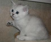 Британские чистокровные котята - серебристые шиншиллы
