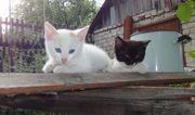 Котята (кот и кошечка),  2 месяца,  от трехцветной кошки. Отдам