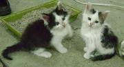 Сибирских помесных котят в хорошие руки отдам!