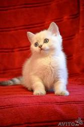 Британские котята .Продаю