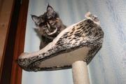 Котята мейн-куны шоу-класса. немецкие линии. доставка