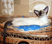 сиамские котята (девочки) питомника Ай-Иночи