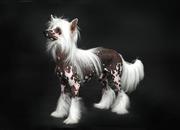 продаются Китайские хохлатые щенки шоу класса из питомника !