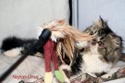 Молодой персидский котя питомника