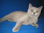 Продам  британского  котенка,   голубую  девочку