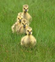 Деревенские гусята.Принимаем заказы на гусят.