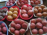 Продаем семенной картофель в розницу